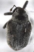 Amalorrhynchus melanarius
