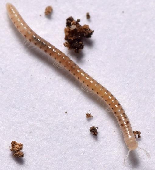 Blaniulus guttulatus  - Blaniulus guttulatus