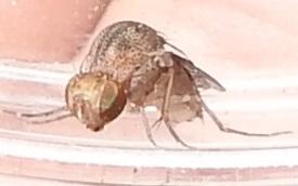 Curtonotidae from Santa Cruz Co, Arizona - Curtonotum prolixum