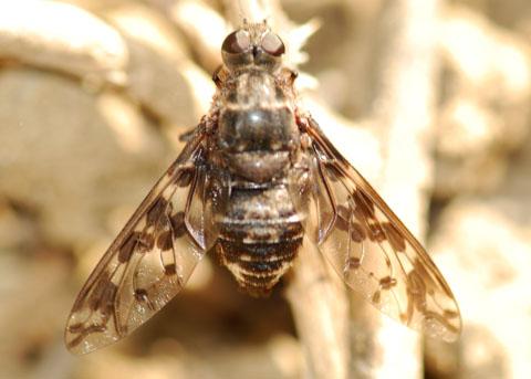 Huge Bee Fly - Xenox delila