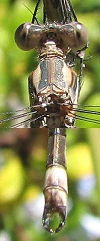 Brown-eyed Male CA Spreadwing - Archilestes californica - male