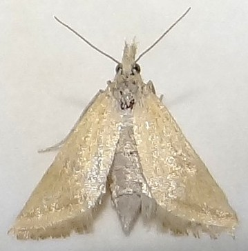Can this Moth be Identified? - Microtheoris vibicalis
