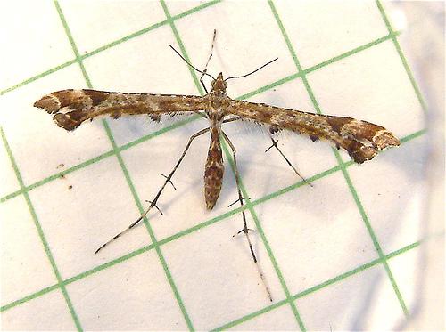 382 Amblyptilia pica - Geranium Plume Moth 6118 - Amblyptilia pica