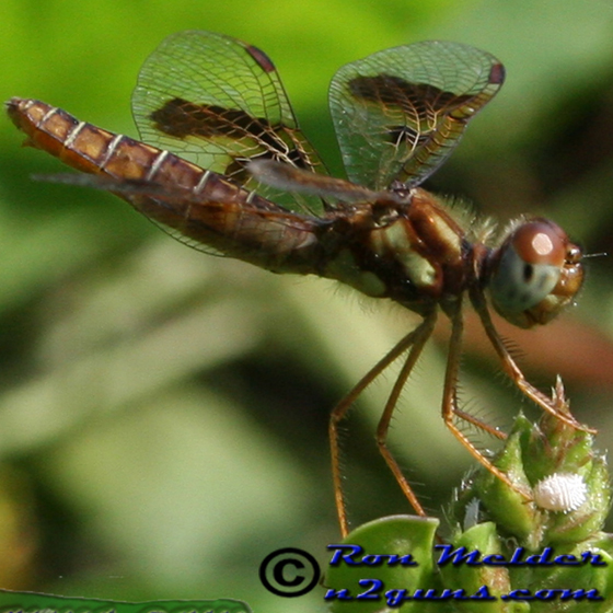 Eastern Amberwing - Perithemis tenera - female