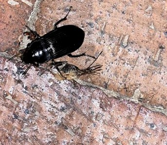 ksprogoe beetle 2