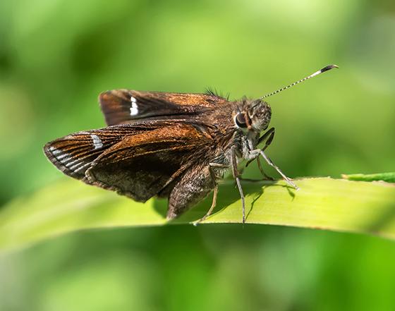 Skipper butterfly 1 - Lerema accius
