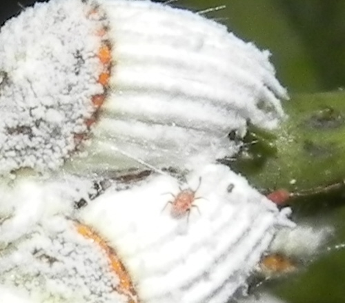 tiny insects? on scales - Icerya purchasi