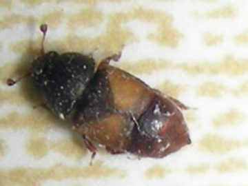 Iris Beetle!? - Nitops pallipennis