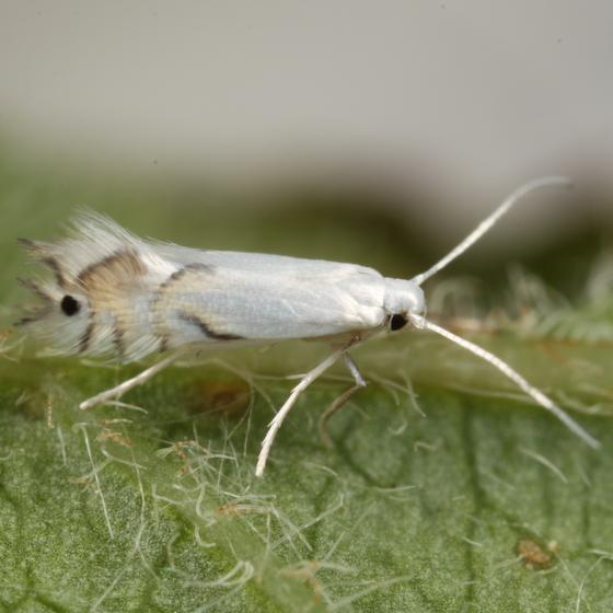 Phyllocnistis ex Parthenocissus - Phyllocnistis