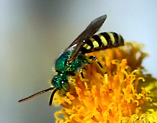 Green Yellow And Black Small Bee