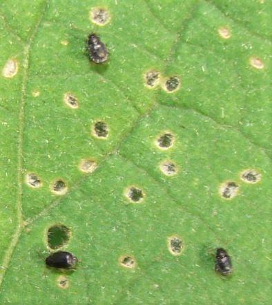 Flea Beetles - Epitrix fuscula