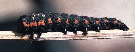 Noctuid ? Caterpillar - Cucullia intermedia