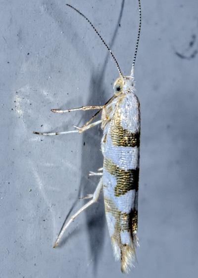 Bronze Alder Moth - Argyresthia goedartella