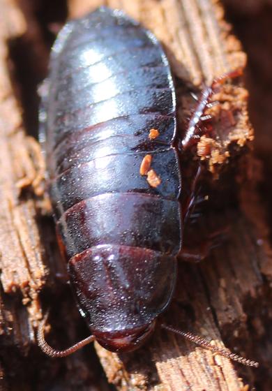 Unknown Insect - Cryptocercus punctulatus
