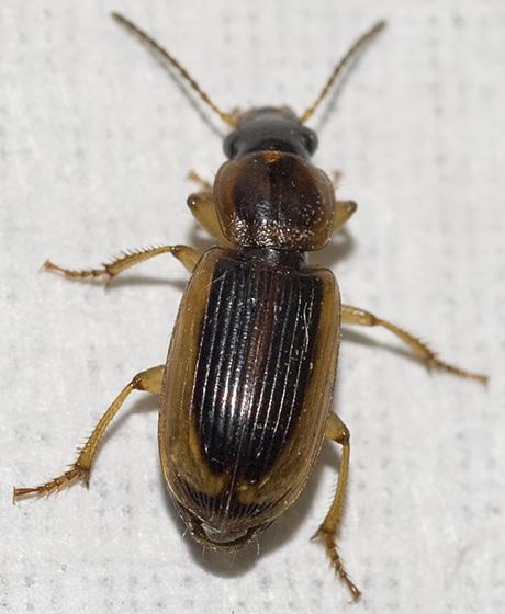 Seedcorn Beetle - Stenolophus comma