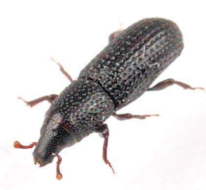 Subfamily Cossoninae - ? - Aphanommata tenuis