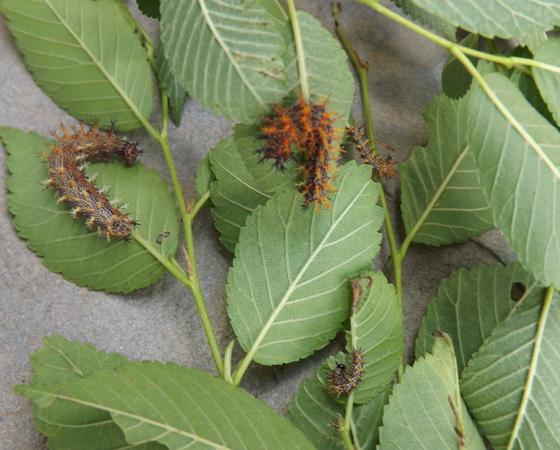Spiky caterpillar   - Polygonia interrogationis