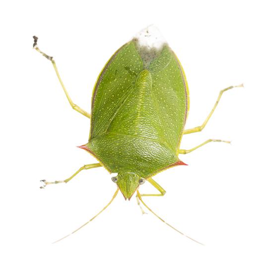 Southern Green Stink Bug? - Loxa flavicollis