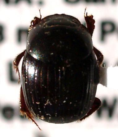 Small dung beetle - Canthidium macclevei