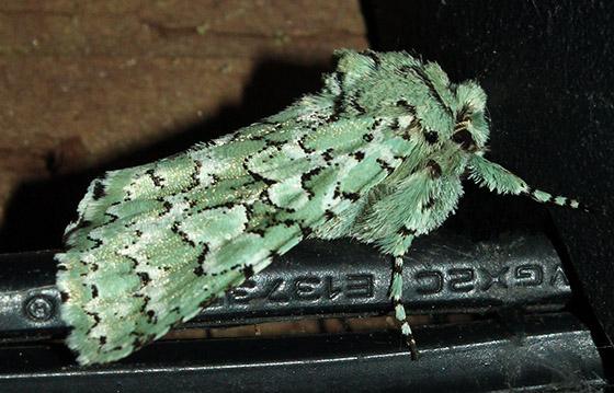Bryolymnia viridata? - Feralia februalis