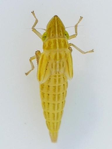 nymph - Draeculacephala