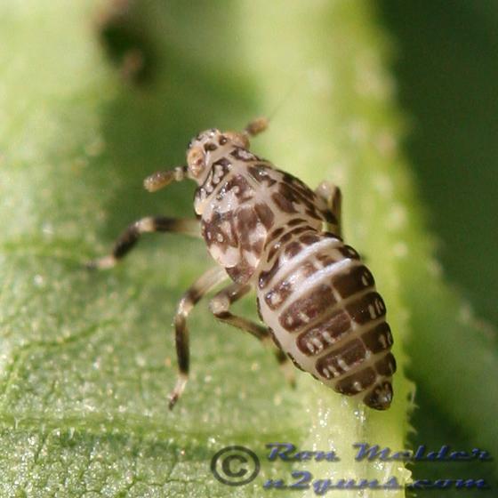 Planthopper 01 - Pissonotus flabellatus