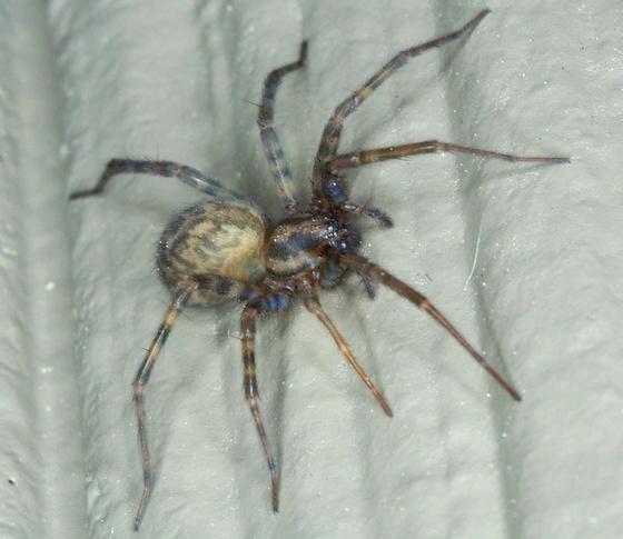 Barn funnel weaver - Tegenaria domestica - BugGuide.Net