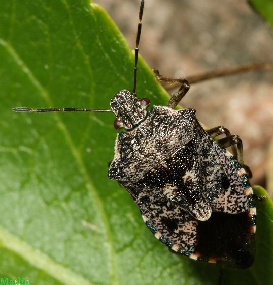 Stinkbug - Apateticus lineolatus