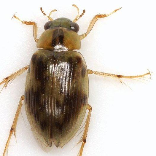 Berosus pugnax LeConte - Berosus pugnax
