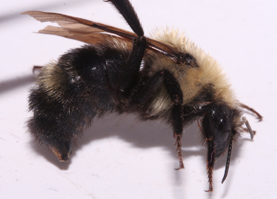 Lemon Cuckoo Bumble Bee, lateral - Bombus citrinus - female