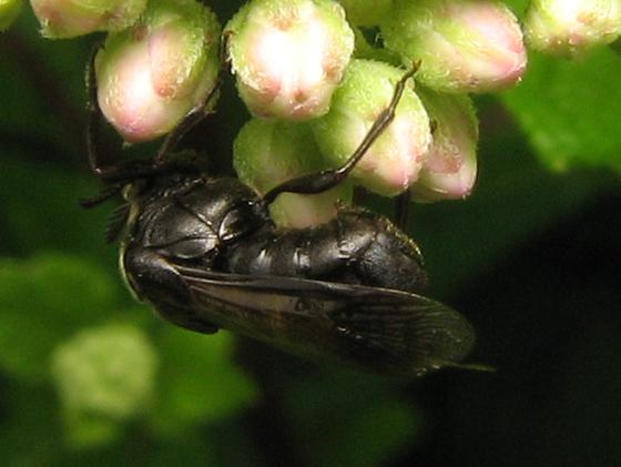 Stumped - Ripiphorus fasciatus-complex - female