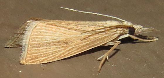 Hodges#5478 - Diatraea evanescens - male
