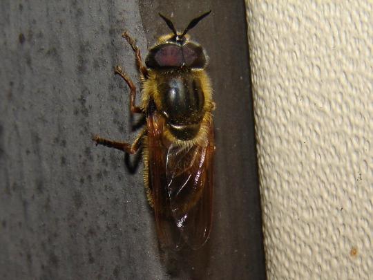 Fly - Callicera erratica - male