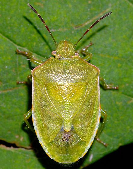 True Bug ID - Thyanta custator