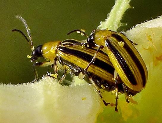 Striped Cucumber Beetles - Acalymma vittatum - male - female