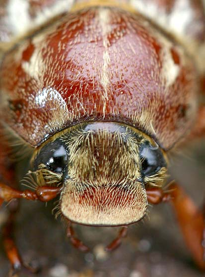 Portrait of a June Beetle - Polyphylla variolosa - male