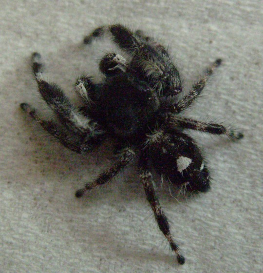 black spider, small white triangle on back - Phidippus audax - male