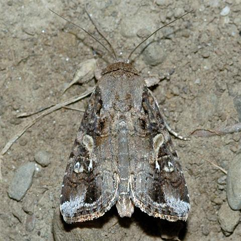 Fall Armyworm Moth Picture Gallery - Picturient.com