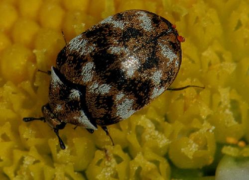 Beetle On Daisy - Anthrenus verbasci