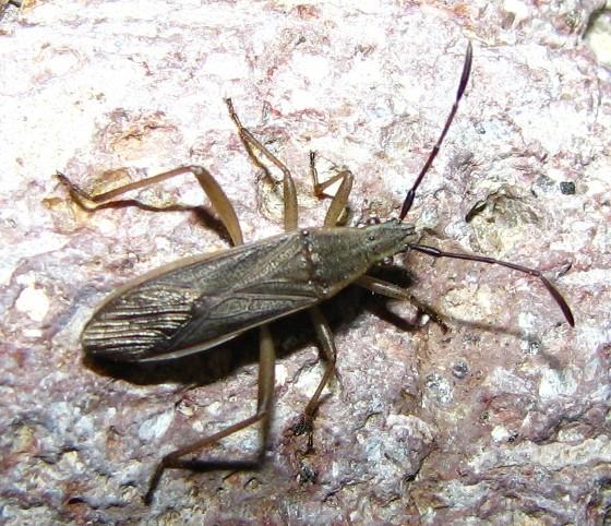 unknown bug - Darmistus subvittatus