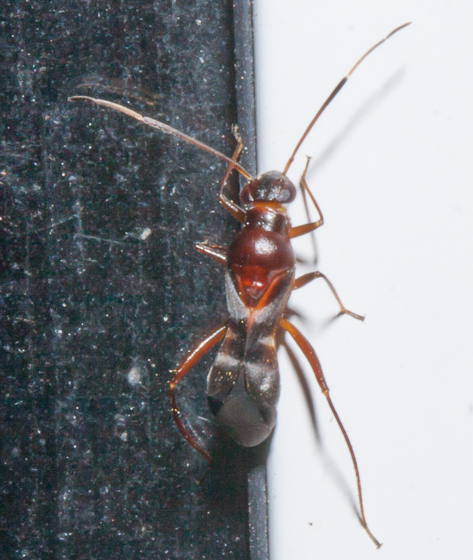 Unknown true bug - Barberiella formicoides