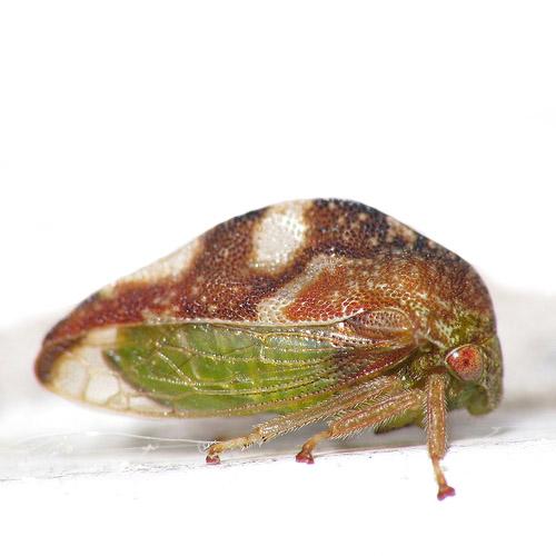 Treehopper - Cyrtolobus fuliginosus - female