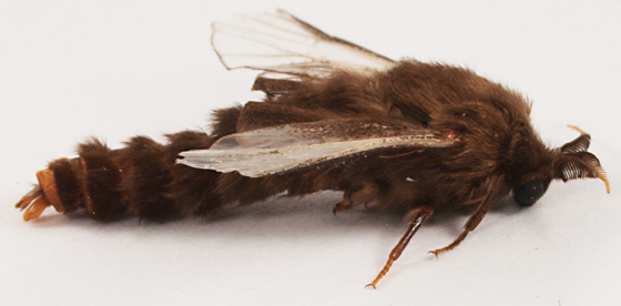 Moth to blacklight - Thyridopteryx ephemeraeformis
