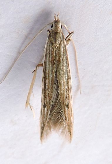 Pennsylvania Moth - Coleophora borea