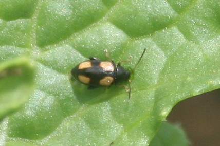 Beetle on Turnip leaf - Phyllotreta bipustulata
