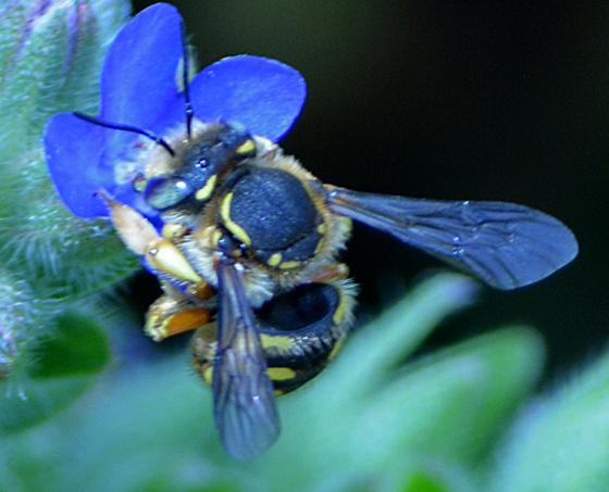 unkown bee - Anthidium manicatum