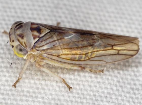 Leafhopper IMG_0942 - Idiocerus lachrymalis - male