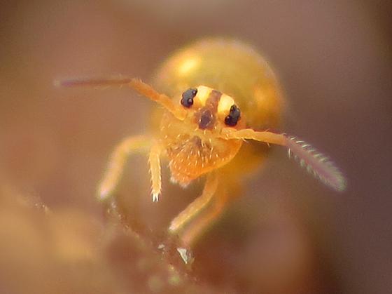 Springtail - Sminthurinus henshawi