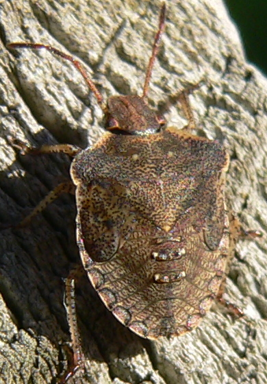 Dusky Stink Bug - Euschistus