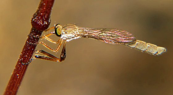 Pretty fly for a pink guy (or girl) - Leptogaster